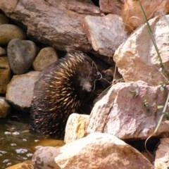 Tachyglossus aculeatus (Short-beaked Echidna) at Illilanga & Baroona - 20 Feb 2009 by Illilanga