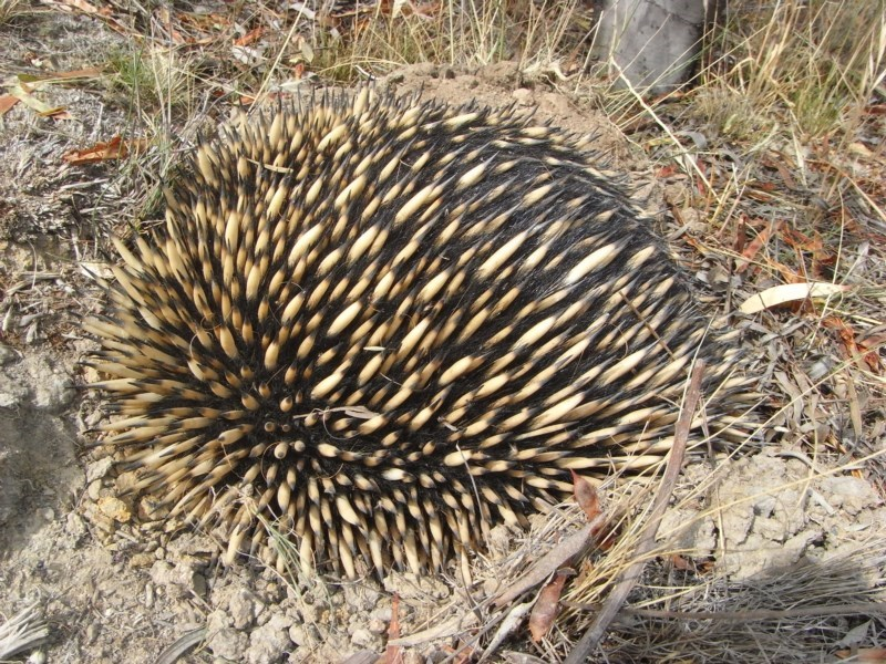 Tachyglossus aculeatus at Illilanga & Baroona - 7 Dec 2009