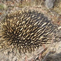 Tachyglossus aculeatus (Short-beaked Echidna) at Illilanga & Baroona - 7 Dec 2009 by Illilanga