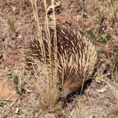 Tachyglossus aculeatus (Short-beaked Echidna) at Illilanga & Baroona - 31 Dec 2012 by Illilanga