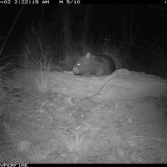 Vombatus ursinus (Wombat) at Illilanga & Baroona - 1 Sep 2011 by Illilanga