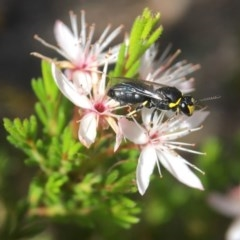 Hylaeus (Gnathoprosopoides) bituberculatus (Hylaeine colletid bee) at ANBG - 29 Oct 2017 by PeterA