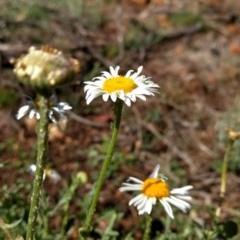 Brachyscome diversifolia var. diversifolia (Large-headed Daisy) at Mount Majura - 30 Oct 2017 by MattM