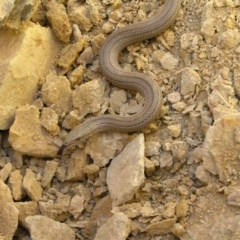 Lialis burtonis (Burton's Snake-lizard) at Gang Gang at Yass River - 21 Oct 2007 by Sue McIntyre