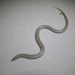 Lialis burtonis (Burton's Snake-lizard) at Gang Gang at Yass River - 8 Feb 2016 by SueMcIntyre