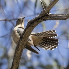 Cacomantis flabelliformis (Fan-tailed Cuckoo) at ANBG - 31 Oct 2017 by Alison Milton