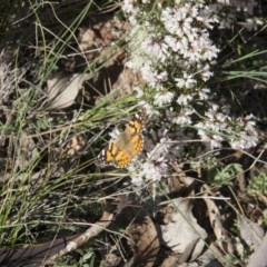 Vanessa kershawi (Australian Painted Lady) at Illilanga & Baroona - 28 Sep 2010 by Illilanga