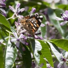 Vanessa kershawi (Australian Painted Lady) at Illilanga & Baroona - 13 Nov 2011 by Illilanga