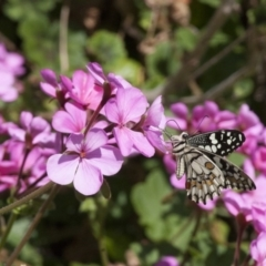 Papilio demoleus at Illilanga & Baroona - 30 Oct 2011
