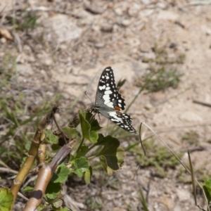 Papilio demoleus at Michelago, NSW - 30 Oct 2011