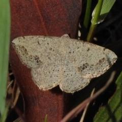 Taxeotis intextata (Looper Moth, Grey Taxeotis) at Tennent, ACT - 1 Nov 2017 by JohnBundock