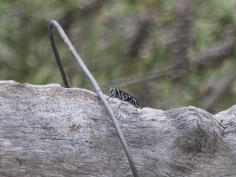 Turneromyia sp. (genus) at Michelago, NSW - 5 Feb 2017