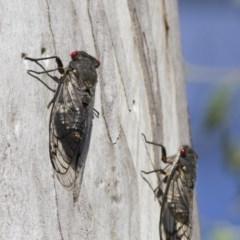 Psaltoda moerens (Redeye Cicada) at Illilanga & Baroona - 7 Dec 2014 by Illilanga