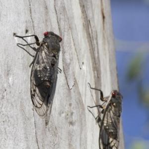 Psaltoda moerens at Michelago, NSW - 7 Dec 2014