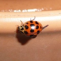 Harmonia conformis (Common Spotted Ladybird) at Flynn, ACT - 13 Nov 2009 by Christine