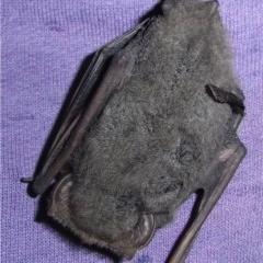Nyctophilus sp. (A long-eared bat) at Illilanga & Baroona - 5 May 2015 by Illilanga