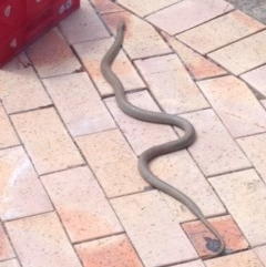 Pseudonaja textilis (Eastern Brown Snake) at Macarthur, ACT - 28 Oct 2017 by GeoffRobertson