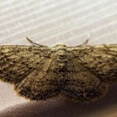 Ectropis bispinaria (Loop-line Bark Moth) at O'Connor, ACT - 11 Oct 2017 by ibaird