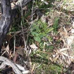 Indigofera adesmiifolia (Tick Indigo) at Mount Ainslie - 4 Nov 2017 by SilkeSma