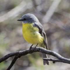 Eopsaltria australis (Eastern Yellow Robin) at ANBG - 29 Sep 2017 by Alison Milton