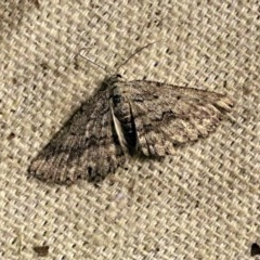 Psilosticha absorpta (Fine-waved Bark Moth) at O'Connor, ACT - 11 Oct 2017 by ibaird