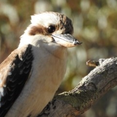 Dacelo novaeguineae (Laughing Kookaburra) at Canberra Central, ACT - 2 Nov 2017 by Qwerty
