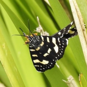 Phalaenoides tristifica at Tidbinbilla Nature Reserve - 5 Nov 2017