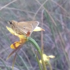 Trapezites luteus (Yellow Ochre, Rare White-spot Skipper) at Aranda Bushland - 3 Nov 2017 by PeterR