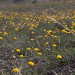 Leptorhynchos squamatus (Scaly Buttons) at Mcleods Creek Res (Gundaroo) - 5 Nov 2017 by MaartjeSevenster