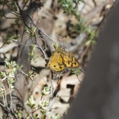 Heteronympha merope (Common Brown) at Illilanga & Baroona - 7 Nov 2017 by Illilanga