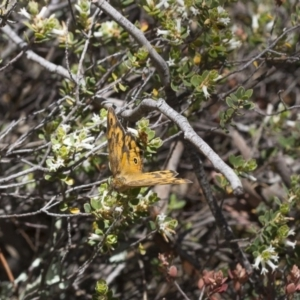 Heteronympha merope at Illilanga & Baroona - 7 Nov 2017