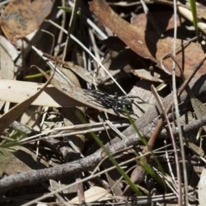 Nyssus albopunctatus at Illilanga & Baroona - 7 Nov 2017