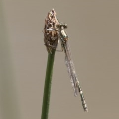 Austrolestes annulosus at Illilanga & Baroona - 7 Nov 2017