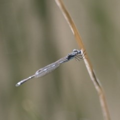 Austrolestes leda (Wandering Ringtail) at Illilanga & Baroona - 7 Nov 2017 by Illilanga