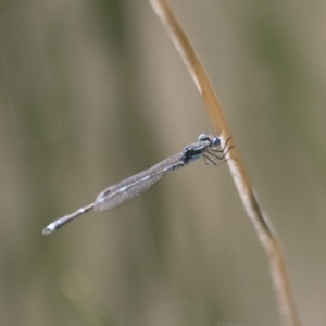 Austrolestes leda at Illilanga & Baroona - 7 Nov 2017