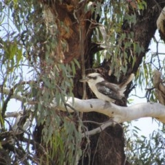 Dacelo novaeguineae (Laughing Kookaburra) at Goorooyarroo - 11 Nov 2017 by KShort