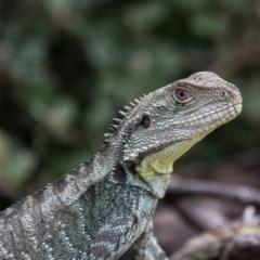 Intellagama lesueurii (Eastern Water Dragon) at ANBG - 4 Nov 2017 by SallyandPeter