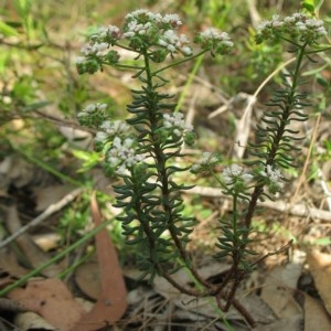 Poranthera ericifolia at South Brooman State Forest - 10 Nov 2017