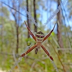Argiope keyserlingi (St Andrew's Cross Spider) at Mogo State Forest - 9 Nov 2017 by MaxCampbell