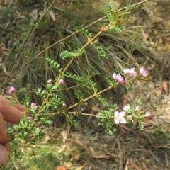 Boronia microphylla (Small-leaved Boronia) at South Brooman State Forest - 10 Nov 2017 by JackieMiles
