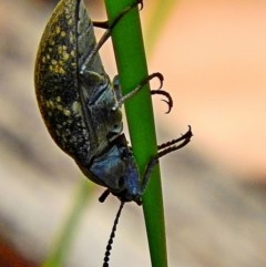 Unidentified Beetle (Coleoptera) (TBC) at Mogo State Forest - 9 Nov 2017 by MaxCampbell