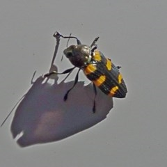Castiarina sexplagiata (Jewel beetle) at Murramarang National Park - 9 Nov 2017 by MaxCampbell