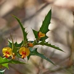 Podolobium ilicifolium (Prickly Shaggy-pea) at Murramarang National Park - 9 Nov 2017 by MaxCampbell