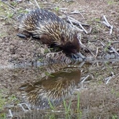 Tachyglossus aculeatus (Short-beaked Echidna) at Brogo, NSW - 3 Nov 2017 by MaxCampbell