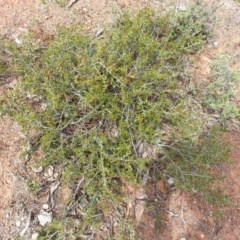 Acacia gunnii (Ploughshare Wattle) at Mount Ainslie - 11 Nov 2017 by SilkeSma