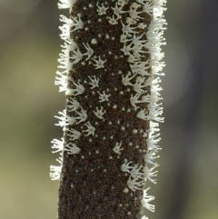 Xanthorrhoea concava at South Brooman State Forest - 10 Nov 2017