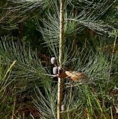 Allocasuarina littoralis at Boyne State Forest - 10 Nov 2017