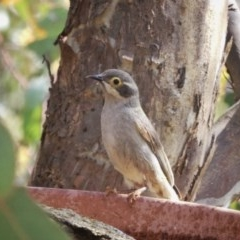Melithreptus brevirostris (Brown-headed Honeyeater) at Wandiyali-Environa Conservation Area - 12 Nov 2017 by Wandiyali