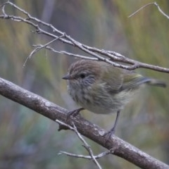 Acanthiza lineata (Striated Thornbill) at Wandiyali-Environa Conservation Area - 11 Nov 2017 by Wandiyali