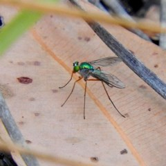 Austrosciapus sp. (Long-legged Fly) at Mogo State Forest - 9 Nov 2017 by MaxCampbell